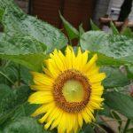 向日葵開花。